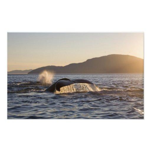 USA, Alaska, Humpback Whale Megaptera Photograph