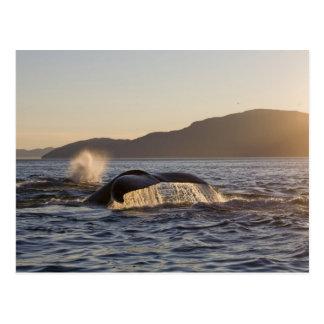 USA, Alaska, Humpback Whale Megaptera Postcard