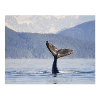 USA, Alaska, Icy Strait. Humpback Whale calf Postcard