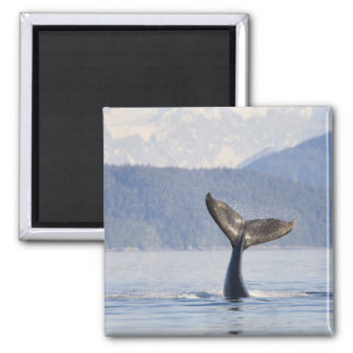 USA, Alaska, Icy Strait. Humpback Whale calf Square Magnet