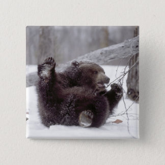 USA, Alaska. Juvenile grizzly plays with tree 15 Cm Square Badge