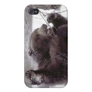 USA, Alaska. Juvenile grizzly plays with tree iPhone 4 Cases