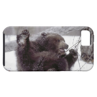 USA, Alaska. Juvenile grizzly plays with tree iPhone 5 Cover