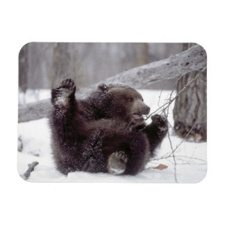 USA, Alaska. Juvenile grizzly plays with tree Rectangular Photo Magnet
