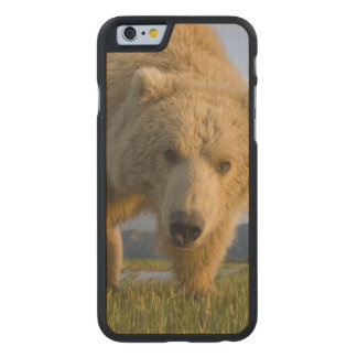 USA, Alaska, Katmai National Park, Brown Bear 3 Carved® Maple iPhone 6 Case