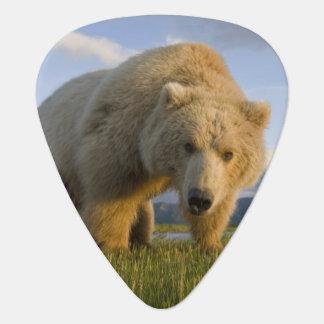 USA, Alaska, Katmai National Park, Brown Bear 3 Plectrum