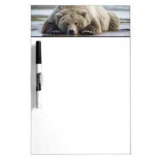 USA, Alaska, Katmai National Park, Brown Bear 4 Dry Erase Board
