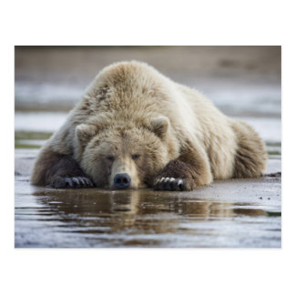 USA, Alaska, Katmai National Park, Brown Bear 4 Postcard