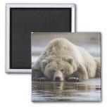USA, Alaska, Katmai National Park, Brown Bear 4 Square Magnet
