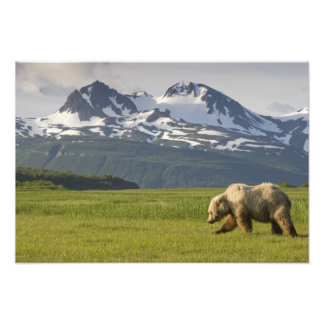 USA, Alaska, Katmai National Park, Brown Bear 5 Photo Print