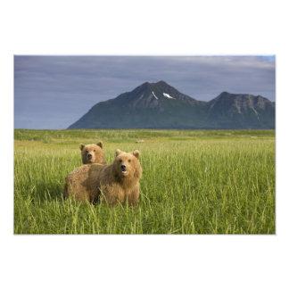 USA, Alaska, Katmai National Park, Brown Bears Photo