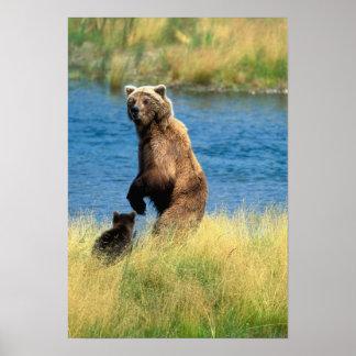 USA, Alaska, Katmai National Park, Grizzly 4 Poster