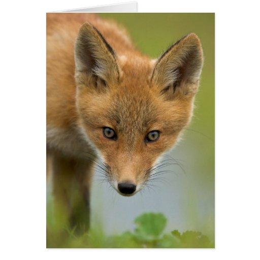 USA, Alaska, McNeil River. Red Fox. 4 Greeting Cards