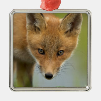 USA, Alaska, McNeil River. Red Fox. 4 Christmas Ornament