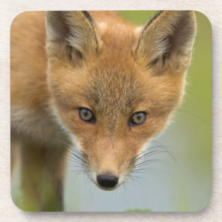 USA, Alaska, McNeil River. Red Fox. 4 Coasters