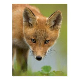 USA, Alaska, McNeil River. Red Fox. 4 Postcards