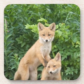 USA, Alaska, McNeil River. Red Fox. 5 Beverage Coasters