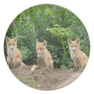 USA, Alaska, McNeil River. Red Fox. Dinner Plates