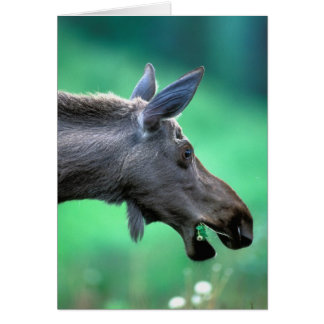 USA, Alaska, Moose Alces alces) munches on Card