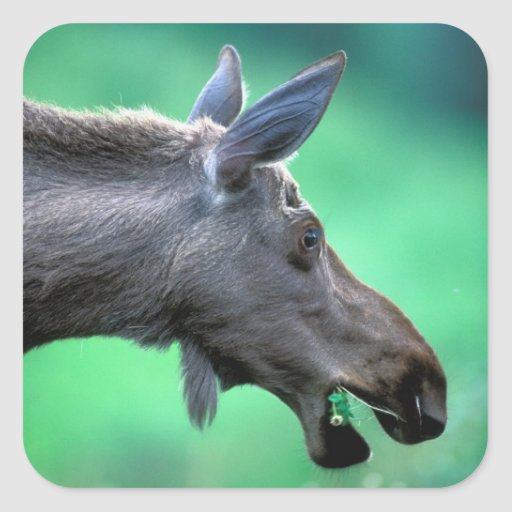 USA, Alaska, Moose Alces alces) munches on Square Sticker