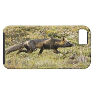 USA. Alaska. Red Fox stalks its prey at Denali iPhone 5 Case
