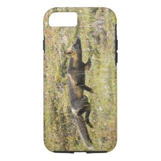 USA. Alaska. Red Fox stalks its prey at Denali iPhone 7 Case