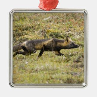 USA. Alaska. Red Fox stalks its prey at Denali Silver-Colored Square Decoration
