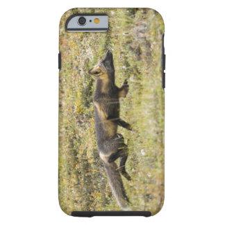 USA. Alaska. Red Fox stalks its prey at Denali Tough iPhone 6 Case