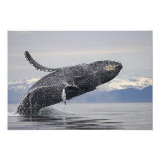 USA, Alaska, Tongass National Forest, Humpback 2 Photographic Print