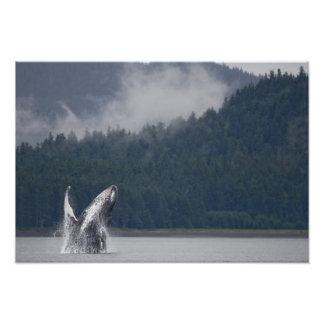 USA, Alaska, Tongass National Forest, Humpback 3 Photo Print