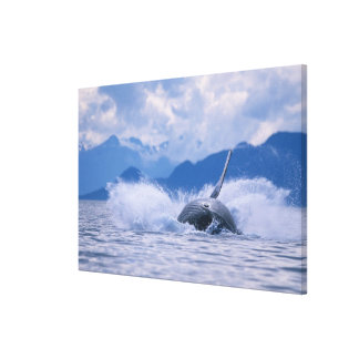 USA, Alaska, Tongass National Forest, Humpback 4 Canvas Print