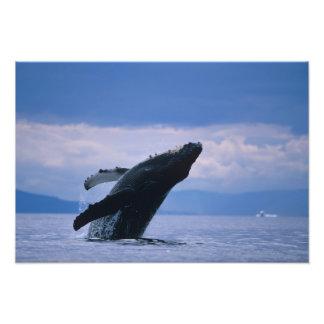 USA, Alaska, Tongass National Forest, Humpback 4 Photo Print