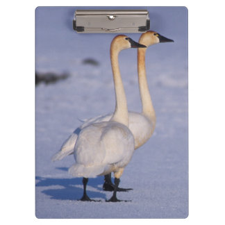 USA, Alaska, whistling swan adults, central Clipboard