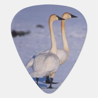 USA, Alaska, whistling swan adults, central Guitar Pick