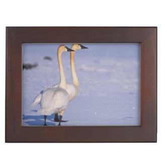 USA, Alaska, whistling swan adults, central Keepsake Box