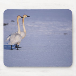 USA, Alaska, whistling swan adults, central Mouse Mat