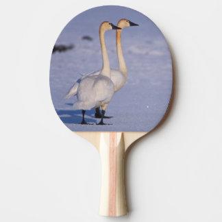 USA, Alaska, whistling swan adults, central Ping Pong Paddle