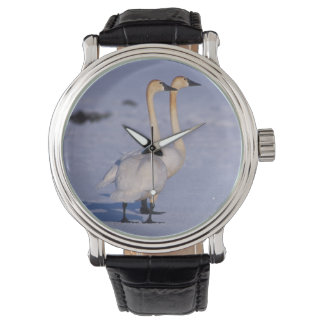 USA, Alaska, whistling swan adults, central Wristwatch