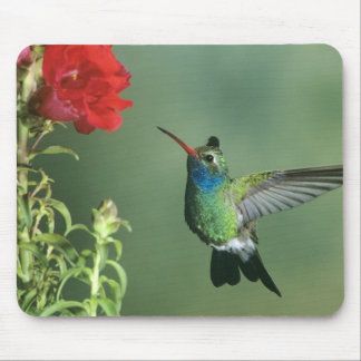 USA, Arizona. Broad-billed hummingbird male Mouse Mat
