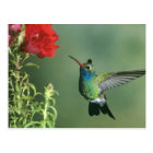 USA, Arizona. Broad-billed hummingbird male Postcard
