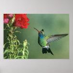 USA, Arizona. Broad-billed hummingbird male Print