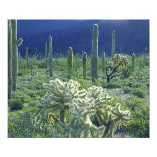USA, Arizona, Organ Pipe Cactus National Photograph