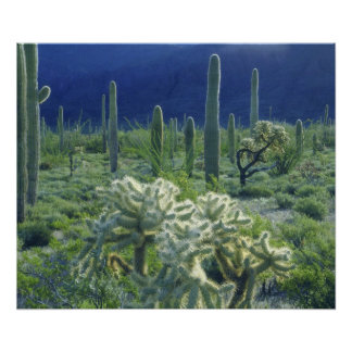 USA, Arizona, Organ Pipe Cactus National Poster