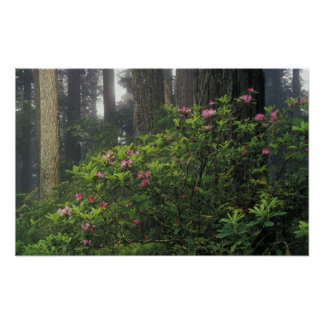 USA, California, Del Norte, Redwoods St. Park, Poster