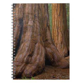 USA, California, Giant Sequoia tree Notebook