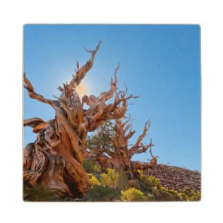 USA, California, Inyo National Forest 10 Wood Coaster