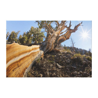 USA, California, Inyo National Forest 12 Gallery Wrapped Canvas