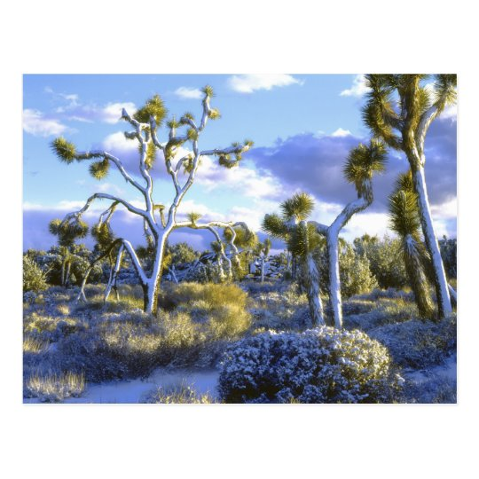 USA, California, Joshua Tree National Park. 2 Postcard