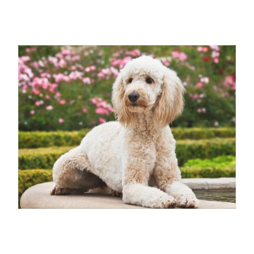 USA, California. Labradoodle Lying By Fountain Canvas Print