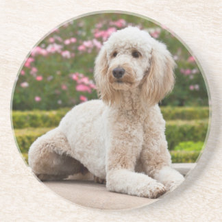 USA, California. Labradoodle Lying By Fountain Coaster